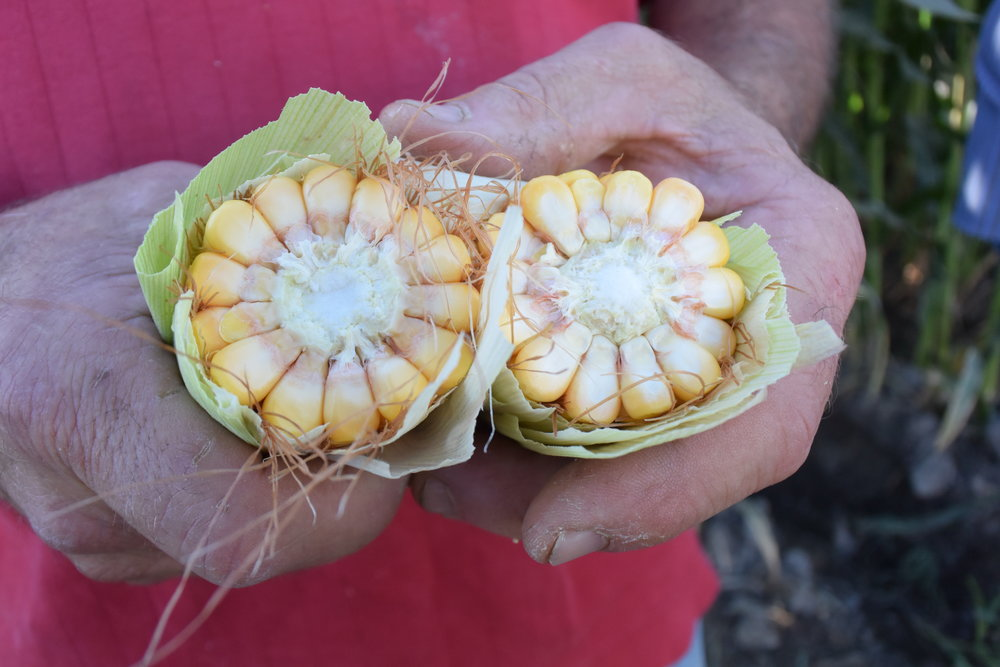 For years, corn has been bred to stand up to export shipment, resulting in a hard, flinty endosperm.  -