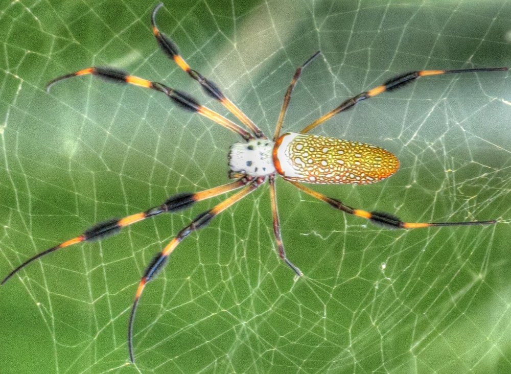 The friendly Golden Orb Weaver spider