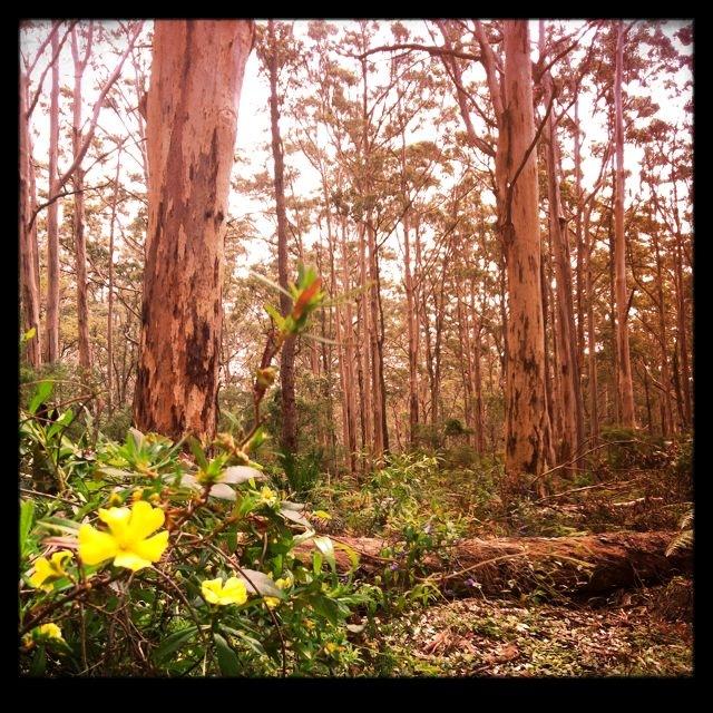 karri forest 1.JPG
