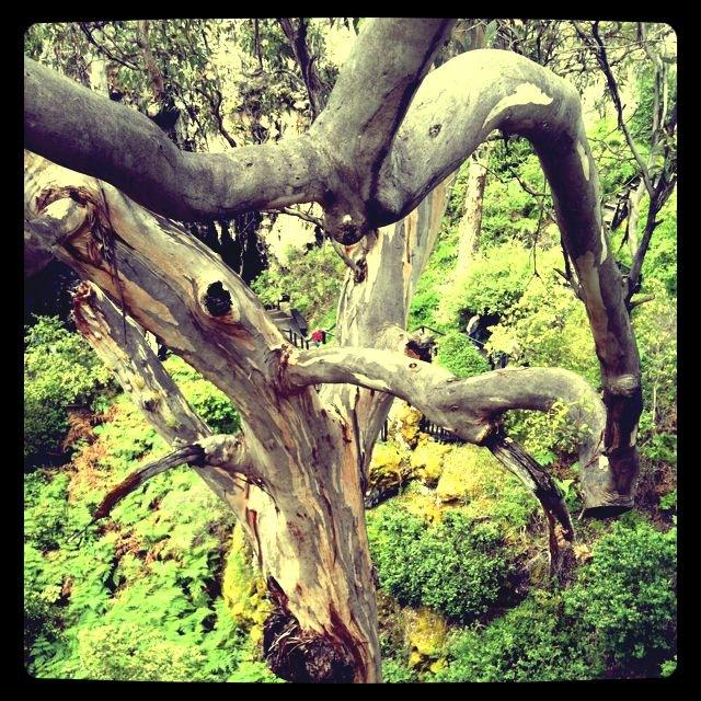 karri forest 2.JPG