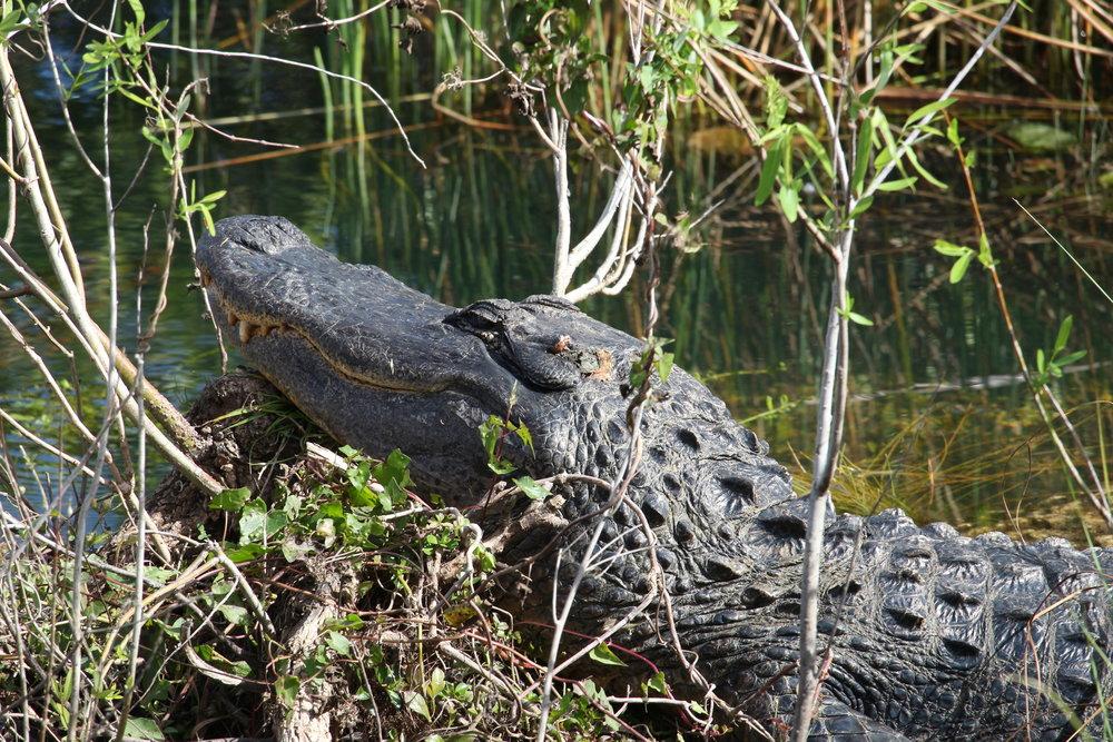 A crocodile taking a break in the sun at Everglades National Park, FL.