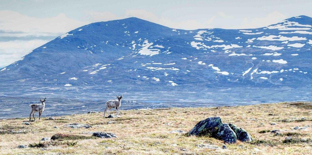 Reindeers nøsen 3.jpg