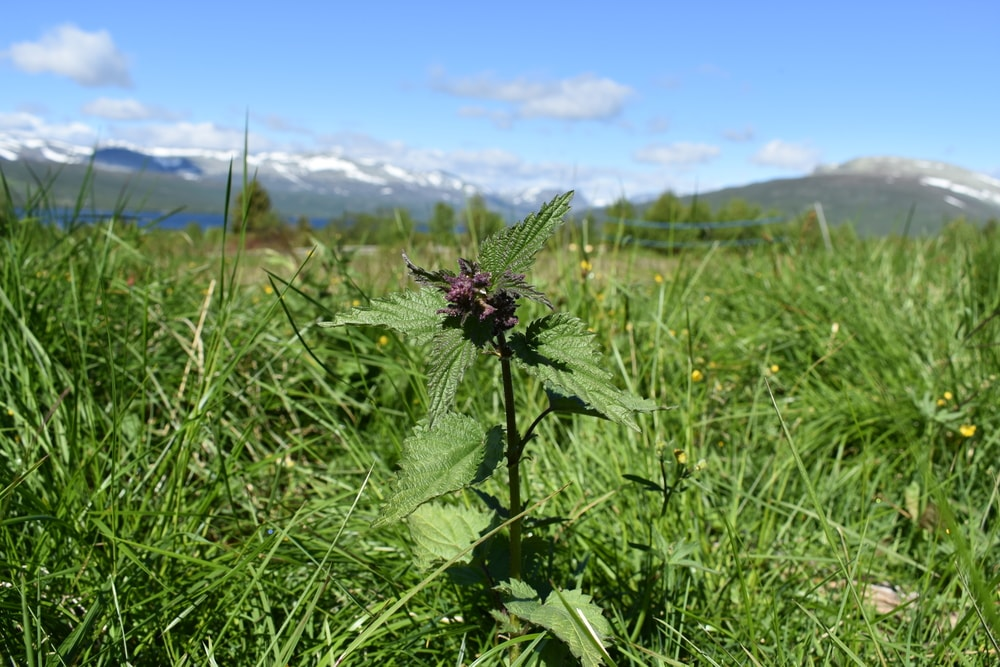 A nettle ready to pick.