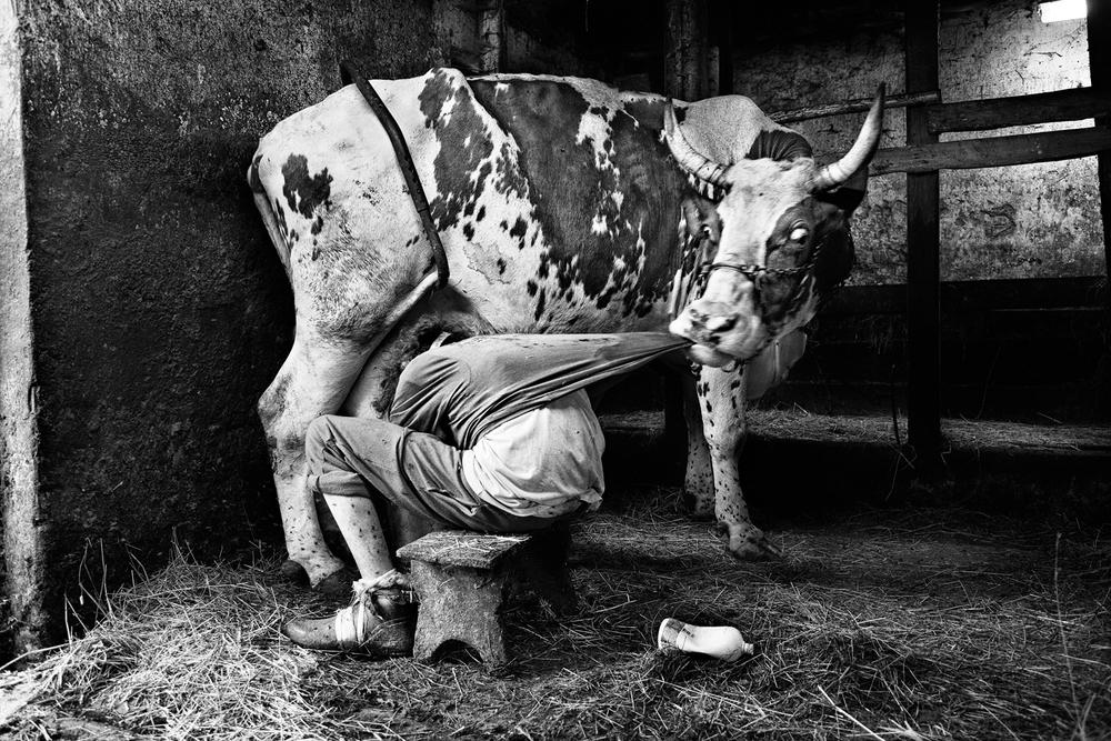 _MG_4762-Lilly-tuggar-på-tröja-Mjölkning-BW-Ljus-Ej-sepia-1500px-KN.jpg