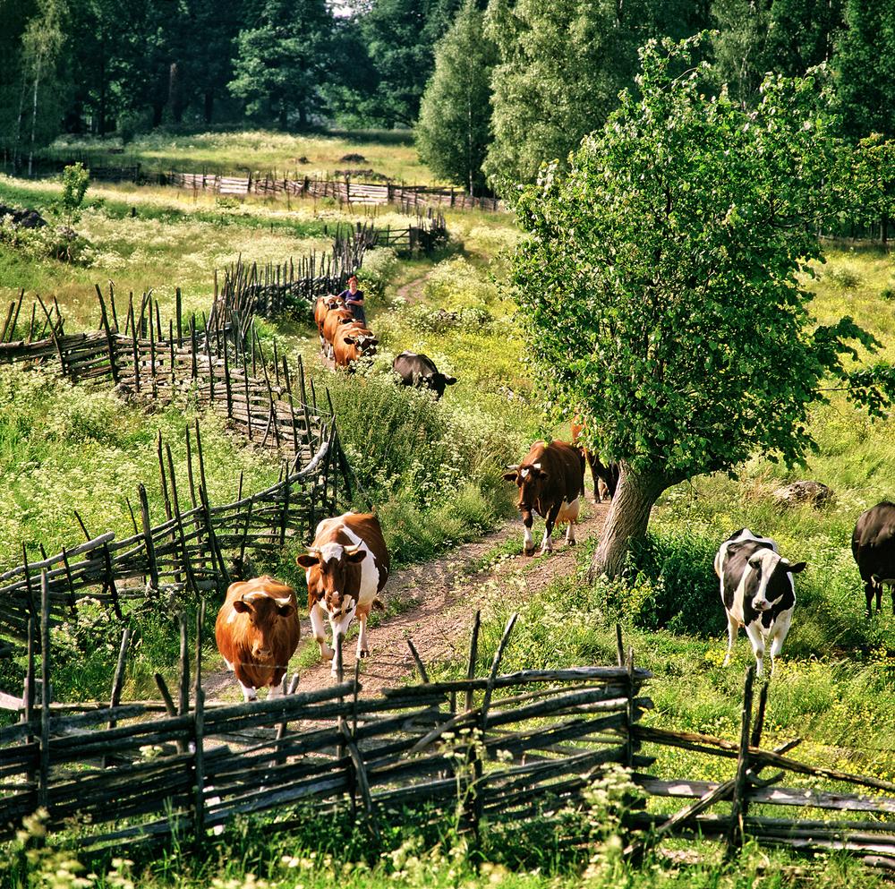 ProK-Mjölkkor-hem-Hamlad-lind-Äskedalen-Britta-Caremalm-Kroxhult-On-1500px-KN2.jpg