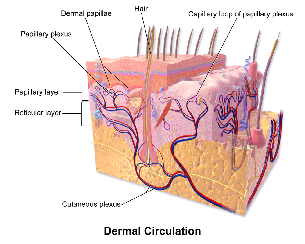 Figure 3. Diagram of skin layers (3)