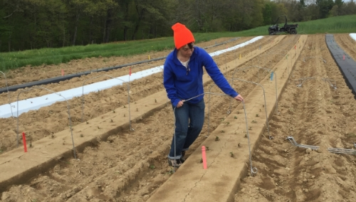 Undergraduate Research Assistant Talia Levy installs low-tunnel frames throughout the field.
