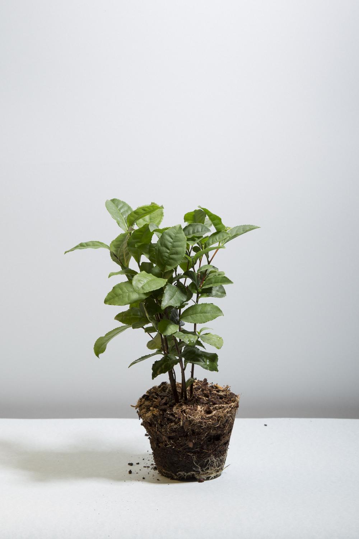 Jméno  Camellia sinensis  dal rostlině otec botaniky Carl Linnaeus podle misionáře Georga Kamela, usazeného na Filipínách, rodáka z Moravy. Kamel ale rostlinu neobjevil, a sám Linnaeus jí za čaj nepovažoval. 🤷🏻♀️ (c) Eliška Stejskalová