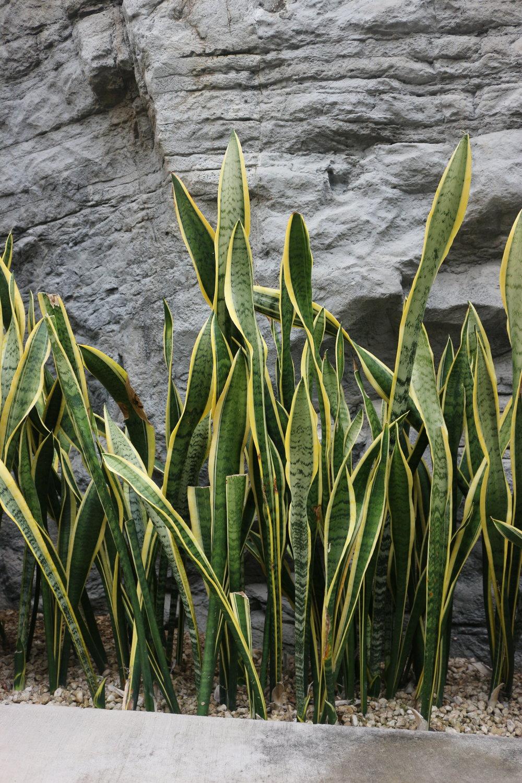 Tchýnin jazyk tyčící se v sekci afrických rostlin v Shinjuku Botanical Garden v Tokiu.