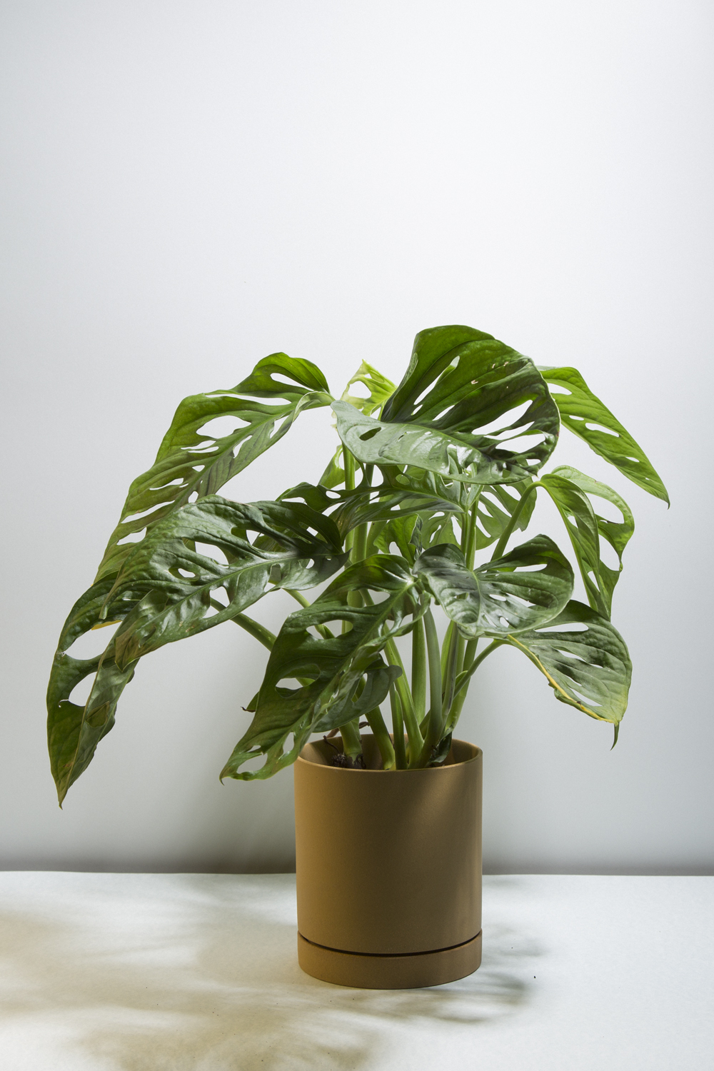 _ Monstera adansonii.jpg