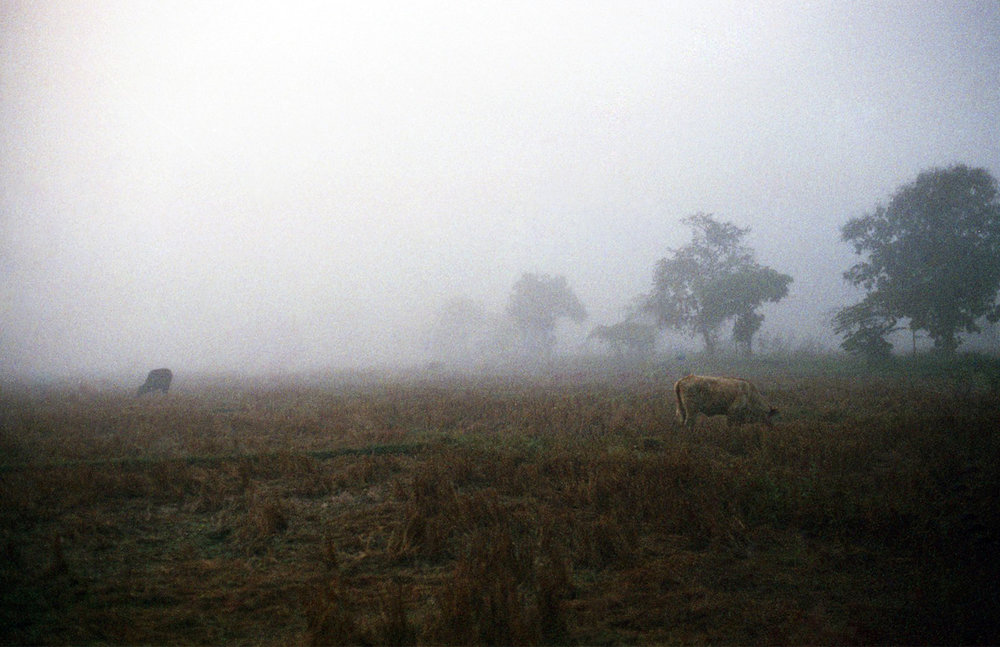 Normal Nuances: Field with Cows   Film Photography, 17x11 in., 2018