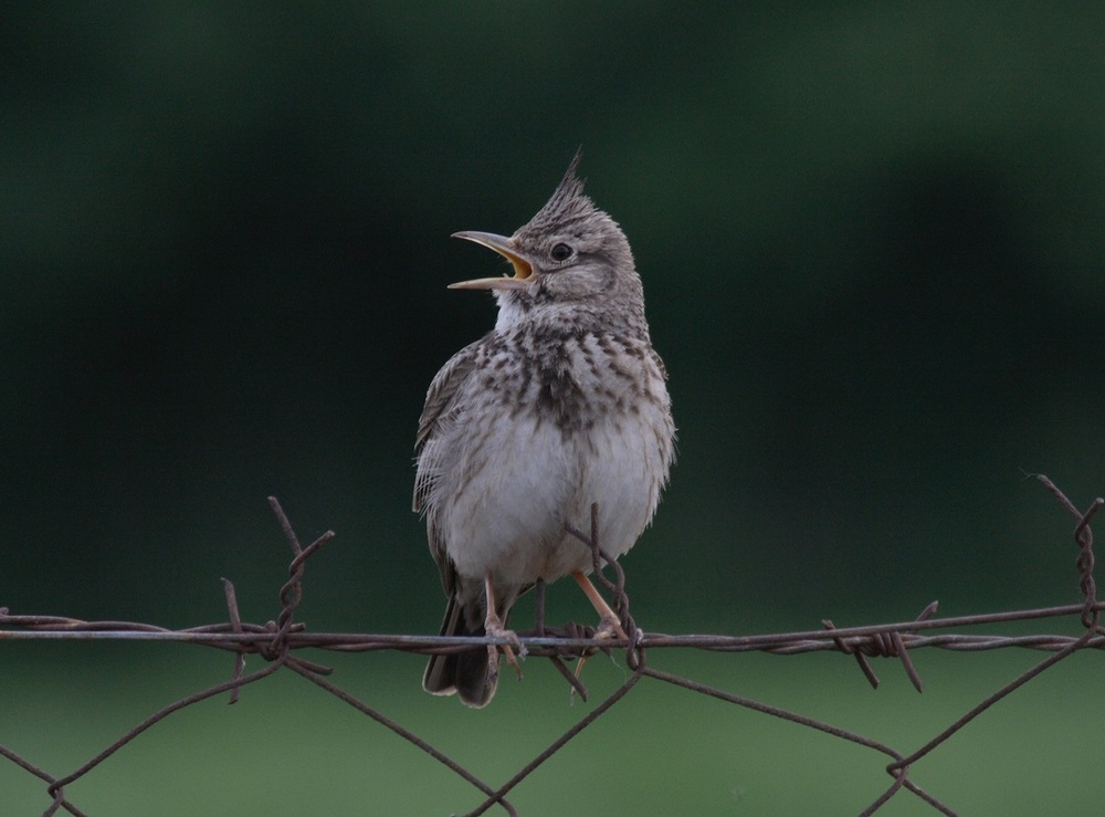 Crested lark, birdsong and walking holiday in Spain