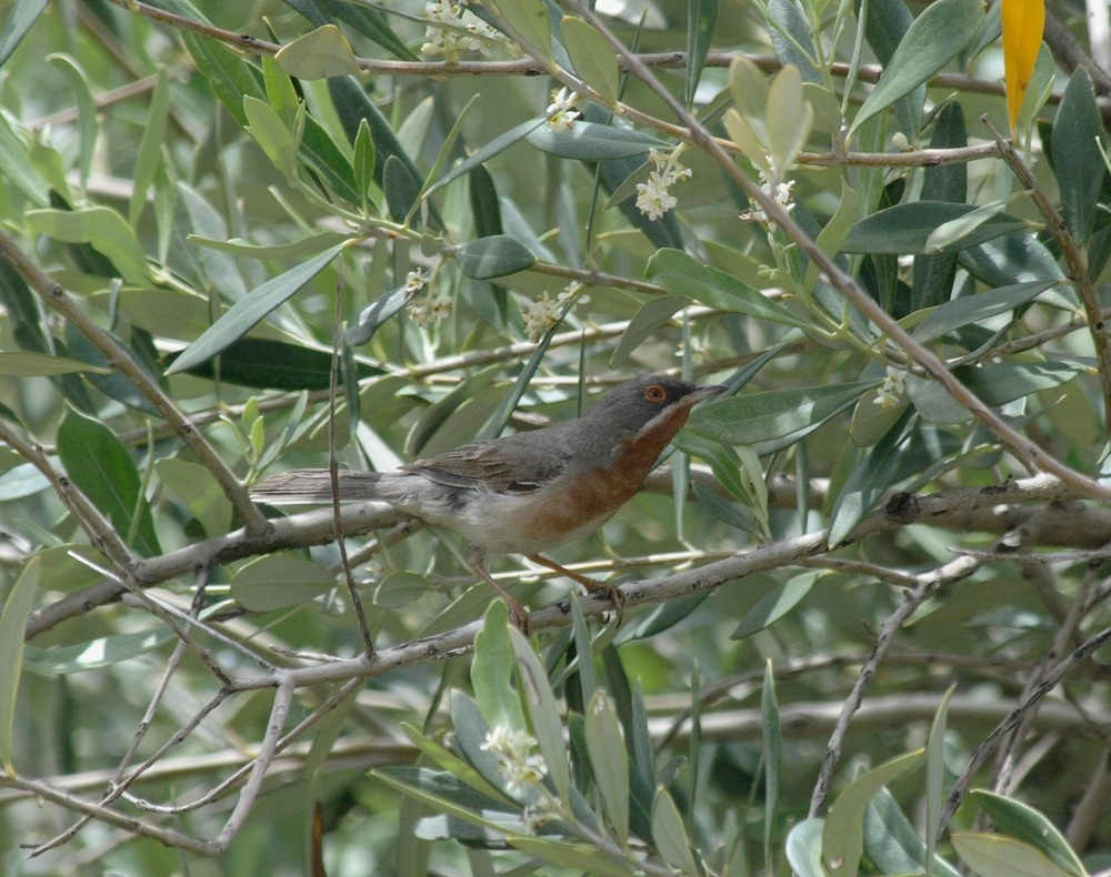 Subalpine warbler, birdsong, music and walking holiday in Andalusia