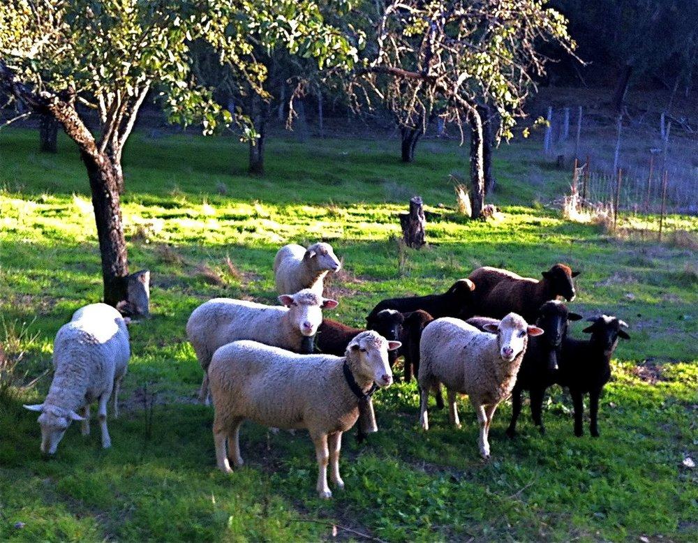 En hiver, les moutons entre les pommiers.