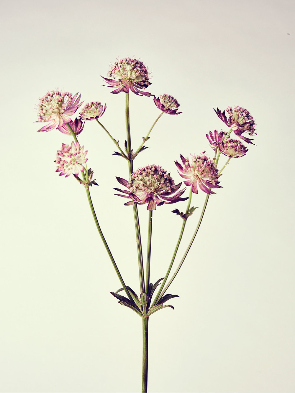 Julian-Ward-Astrantia.jpg