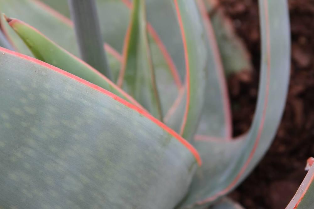 willow-gardens-nursery-aloe-striata-2