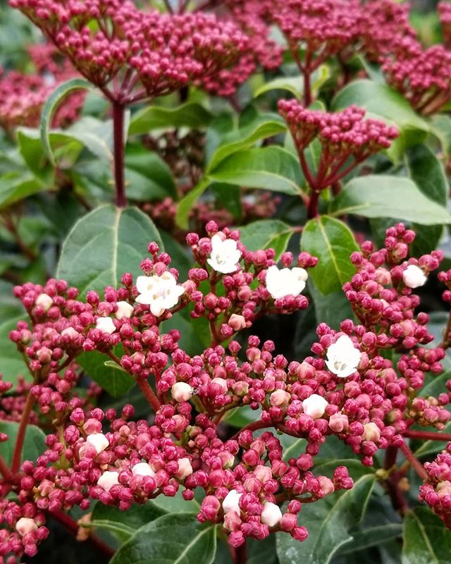 Viburnum 'springbouquet' is an easy, Evergreen shrub that gets approximately 6-8' tall & wide, but can be kept smaller with pruning.  From late winter through spring loads of deep pink flower clusters that bloom white cover the lush, deep green foliage of this eye-catching and long-lasting favorite.  #viburnumspringbouquet #evergreen #shrub #hedge #privacyscreen #bloom #flower #cluster #butterfly #bee #hummingbird #bird #nature #wildlife #viburnum #spring #bouquet #willowgardens #nursery #plant #plants #alltheplants #garden #center #gardencenter #local #love #beautiful #foilagefriday
