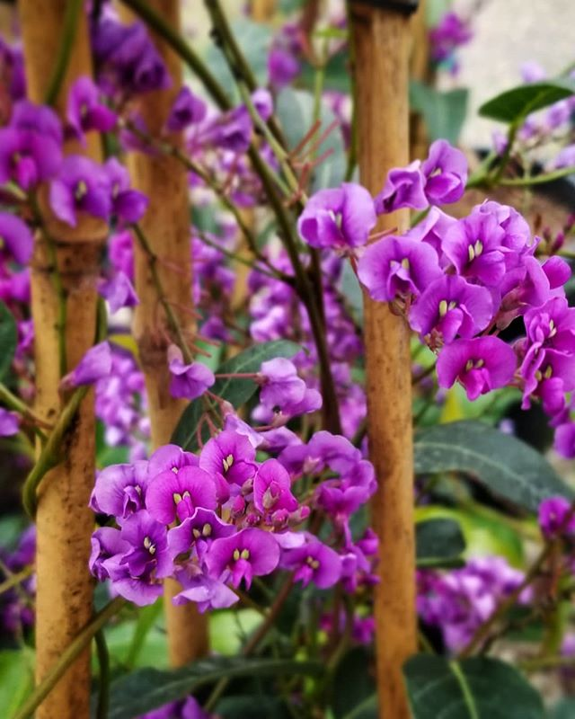 It may be cold & rainy, but our green house is warm, cozy, & full of beauty! This is Hardenbergia violacea 'Happy Wanderer' & wow is she showy! An evergreen Australian native that blooms winter through spring & even tolerates heavy soils!