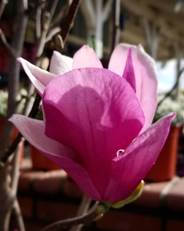The Showstopper. Magnolia s. Alexandrina. This small deciduous tree, commonly called a Tulip tree, is known for it's spectacular blooms & architectural shape.  It fits pretty much any landscape style & is super low-maintenance 💕 They go quickly, so get yours soon!