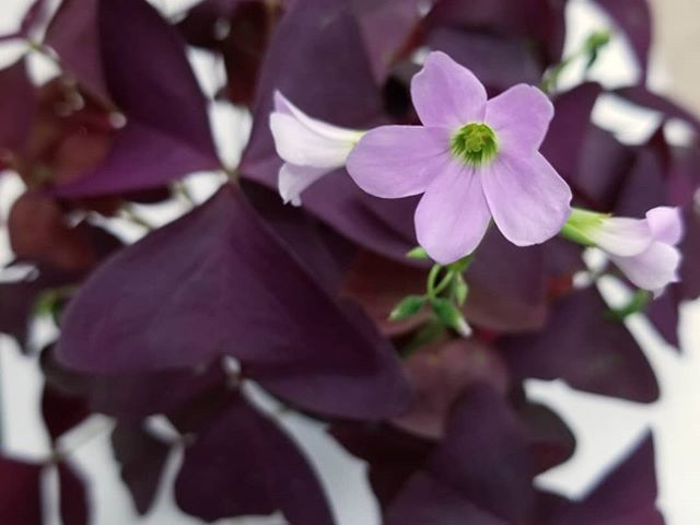 Just in! Everyone has been looking for them! OXALIS 😍💜 Purple Shamrock  Great for dramatic indoor color or a lush shady spot outside.  #oxalis #purple #shamrock #lush #dramatic #cute #flowers #pink #garden #shade #indoor #houseplant #houseplantgoals #love #lowmaintenanc #easy #willow #gardens