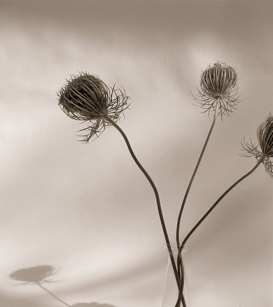 ©HelenJones-Queen Anne's Lace.jpg
