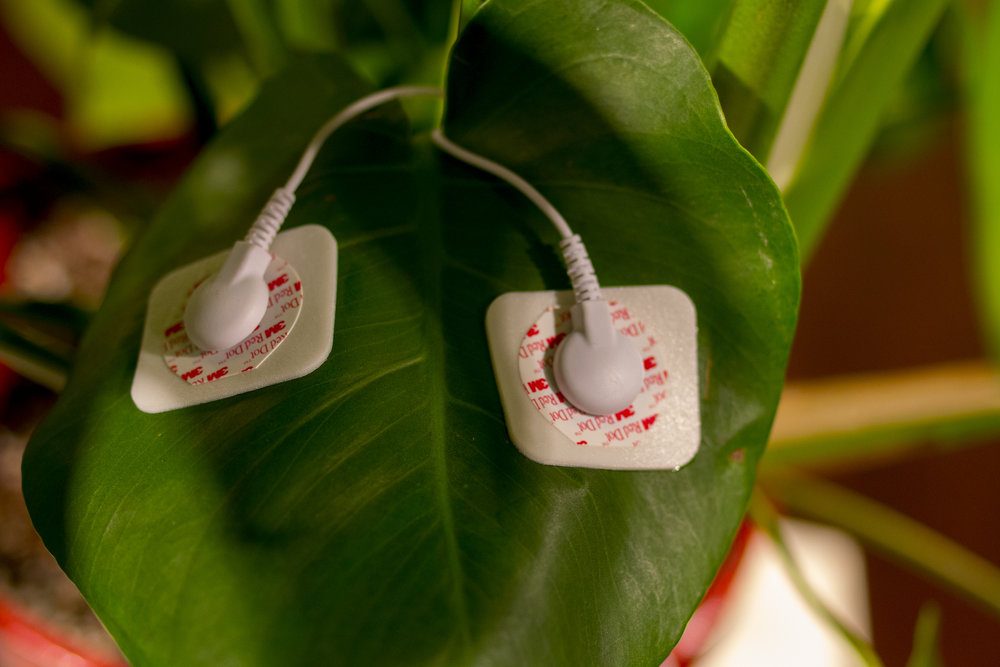 How It Works - Each MIDI Sprout comes with two probes that are used to measure changes in electrical currents across the surface of a plant's leaf. Our technology converts these fluctuations into note and control messages that can be read by synthesizers and computers to generate music and even video.