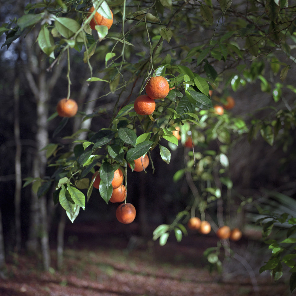 Hanging Oranges 300px.jpg