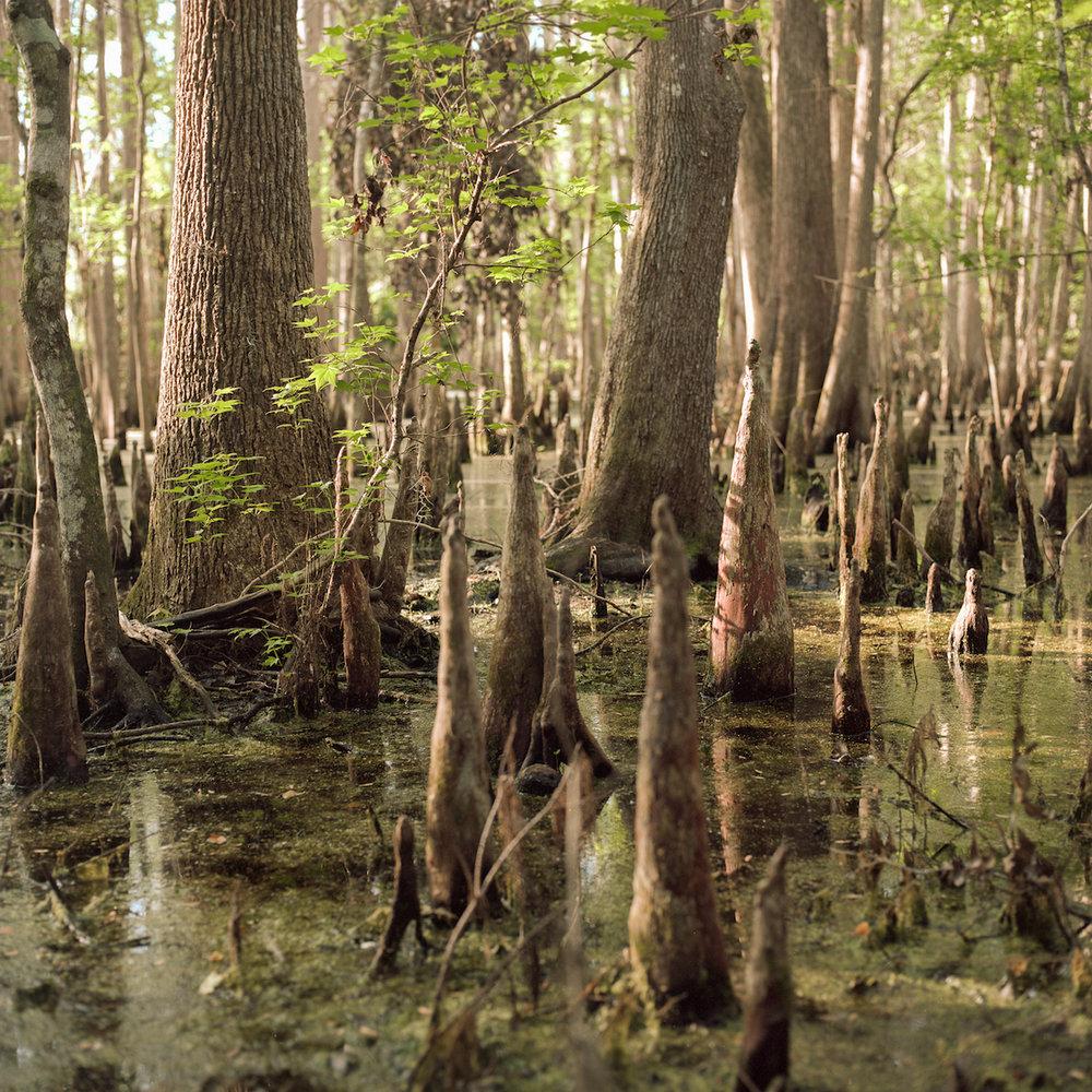 Cypress swamp 300 px.jpg