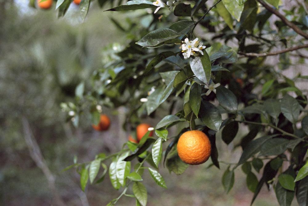 Banes Grove Orange Blossom 300px.jpg