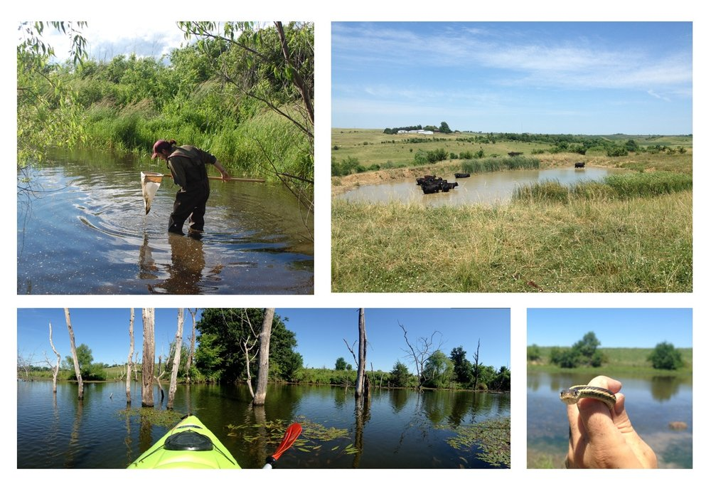 Clockwise, from top left: Timothy dipnet sampling a small farm pond in 2016 (photo by Scott Nelson). A typical farm pond in Ringgold County, Iowa, with a small herd of cattle bathing in the pond. A gartsnake encountered at one of the farm ponds. A larger pond that was more easily traversed by kayak.