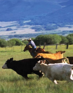 CCLT Cows.PNG