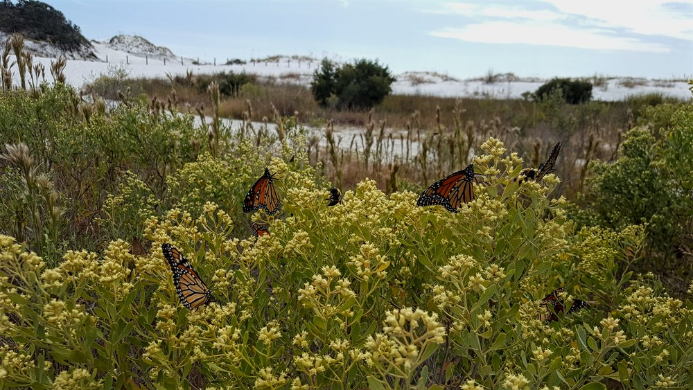 Okaloosa Island Monarchs