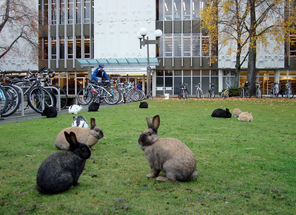 When introduced into a new area, rabbits can overpopulate rapidly, becoming a nuisance, as on this university campus