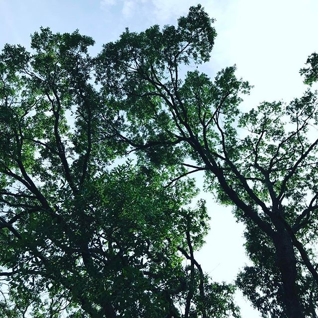 Perfect summer days chillin in the best park ever. #lookup #citypark #neworleans #outdoorliving #trees #leaves #bluesky #napsinthepark @neworleanscitypark