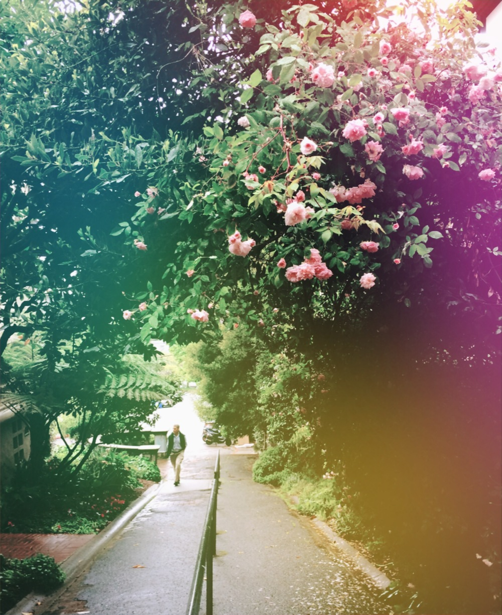 Rose Path - Photography