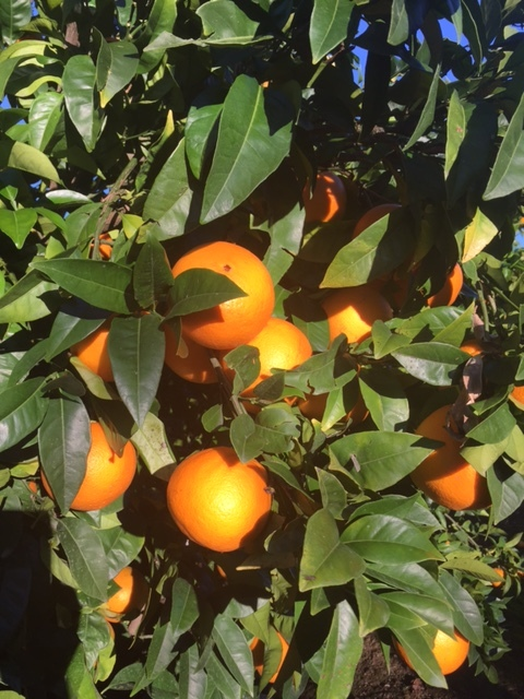 Tolago Bay Citrus