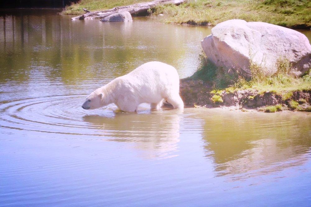 Polar Bears at Skandinavisk Dyrepark, Denmark