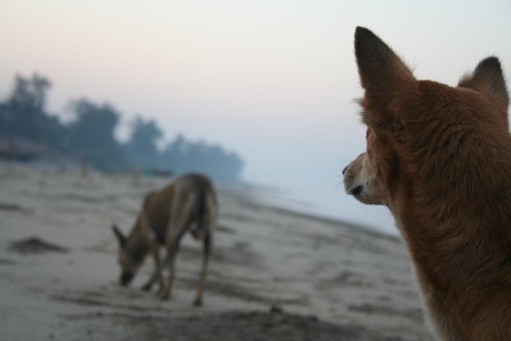 Am frühen Morgen gehört der Strand den streunenden Hunden. Wenn sich die ersten Touristen in der Sonne installieren, suchen sie den Schatten auf. Foto: Irene Mazza, Arambol, Indien