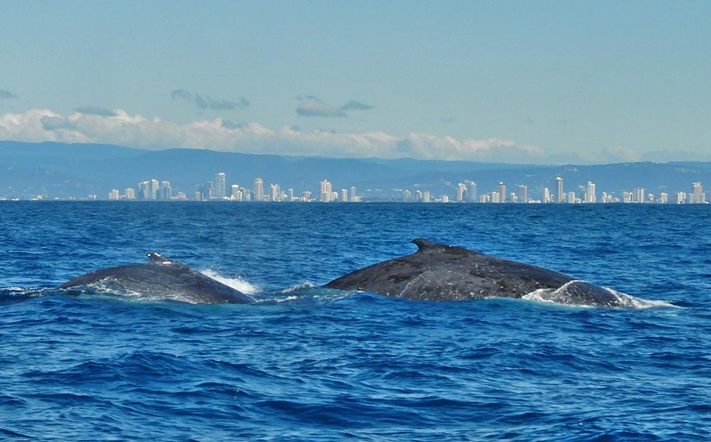Whale_watching_gold_coast.jpg