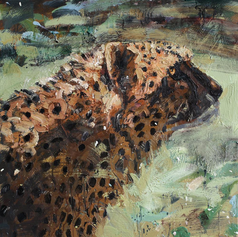 Acinonyx jubatus | 75x75 cm | olje på lerret |Privat eie