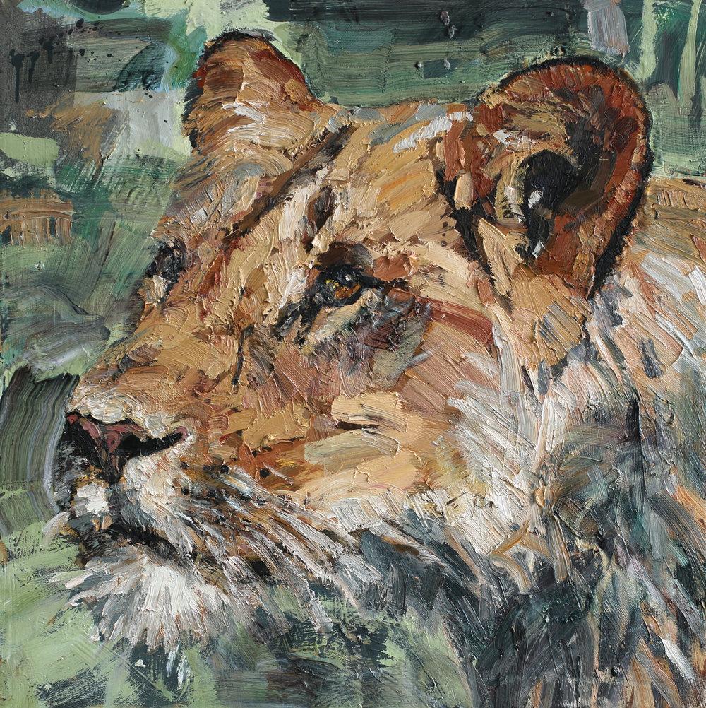 Panthera leo | 75x75 cm | Olje på lerret | Privat eie