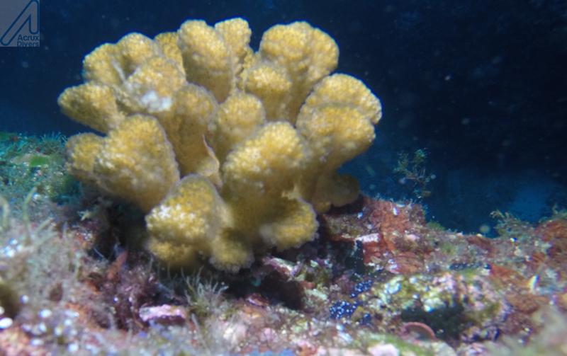 Coral at Isla del Coco