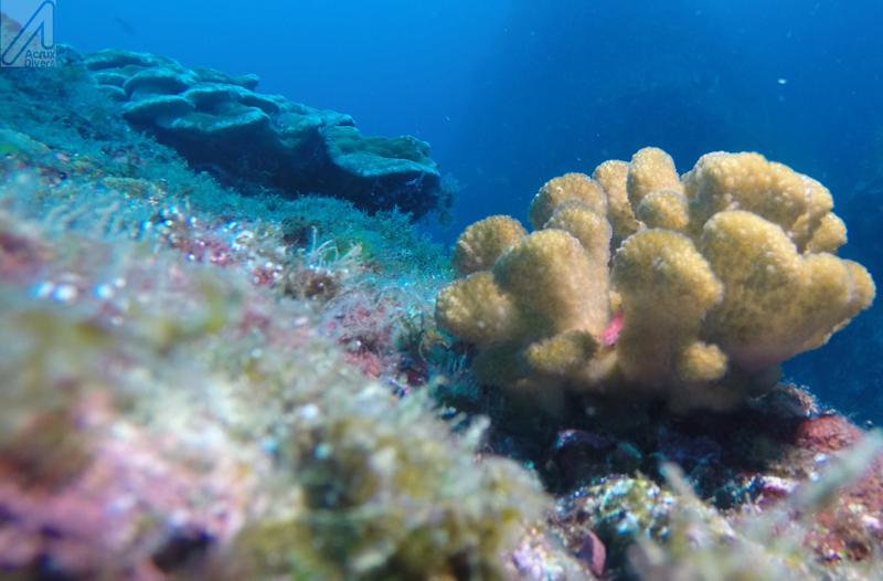 Coco Island Corals