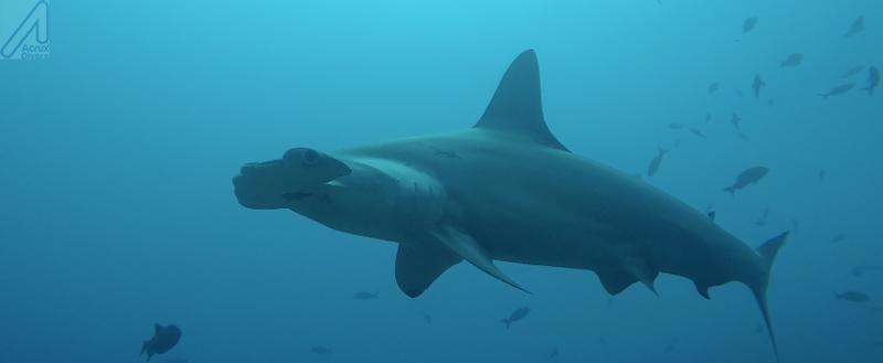 Tiburón Martillo_ Coco Island