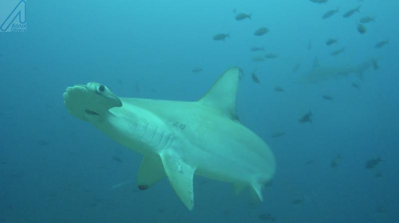Tiburon Martillo_V2_Coco Island
