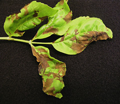 ash-anthracnose-small.jpg