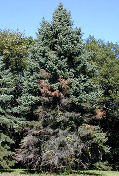 cytospora-on-spruce-small.jpg