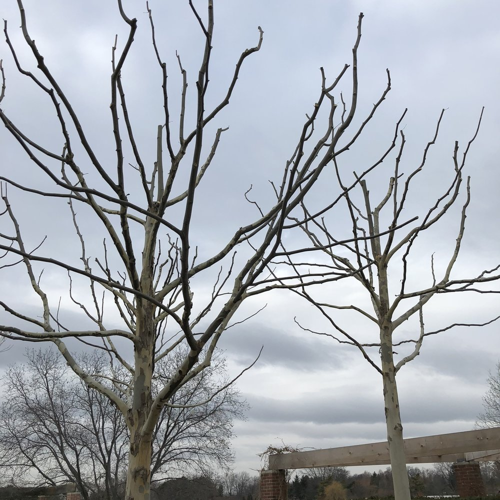 Pruning trees in high traffic areas, or with special needs, can be very difficult during the growing season. These London Plane trees are located in the middle of an outdoor amphitheater, normally packing during warm weather. By pruning in the dormant season, time can be taken to properly pollard the canopies without having to jockey for workspace.