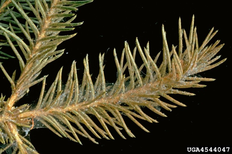 Figure 2: Webbing and excessive feeding damage on the terminal growth point of a spruce.  (Source: USDA)