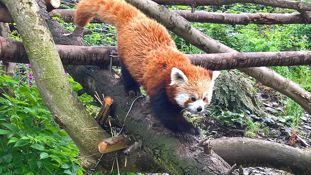 red-panda-welsh-mountain-zoo